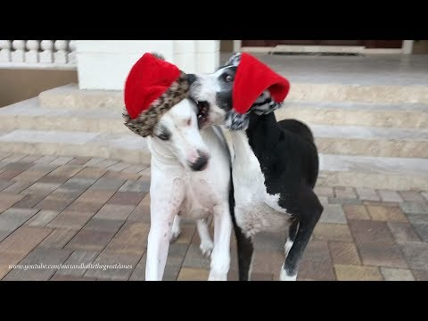 Funny Senior Great Dane Siblings Argue Over Christmas Hats