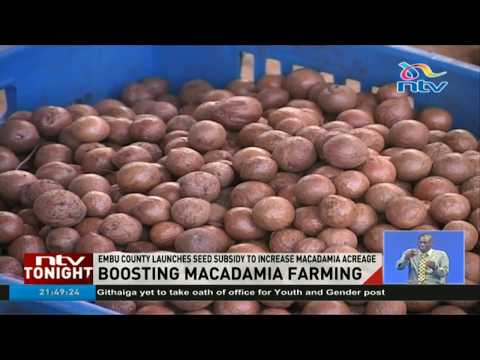 Embu county launches subsidy program to increase Macadamia farming