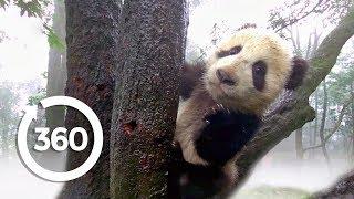 Protecting Pandas (360 Video)