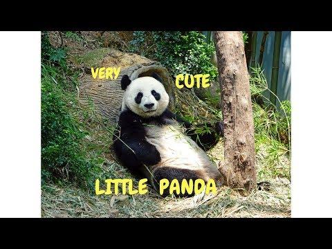 Very Cute Little  Panda