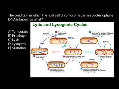 Bacteriophage life cycle