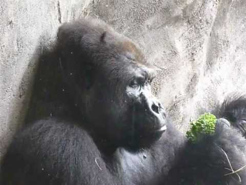 Ape Chewing On Lettuce Close Up Gangnams FUNNY CHRISTMAS VIRAL