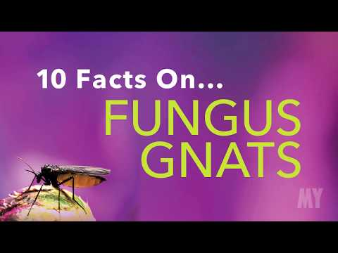 10 Facts On... Fungus Gnats