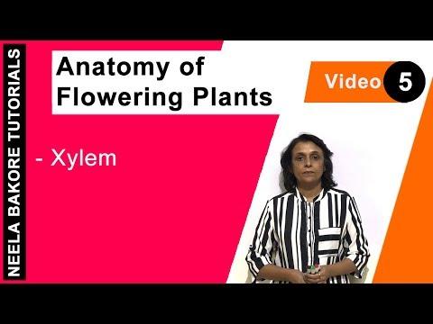 Anatomy of Flowering Plants - Xylem