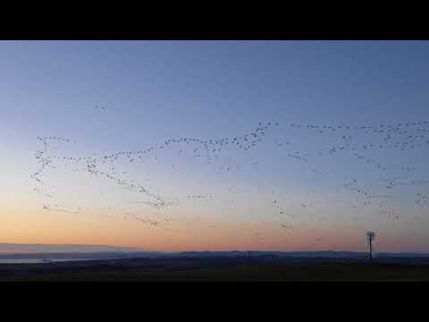 Thousands of pink footed geese over Fife