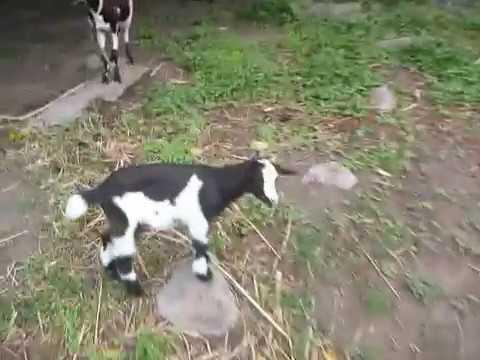 Goats in Montserrat, West Indies