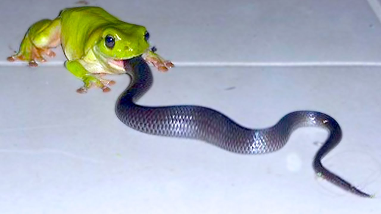 15 Times Snakes Messed With The Wrong Opponent