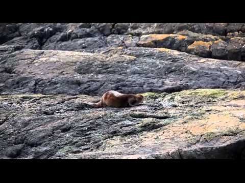 Otter on the rock: A good scratch and a pee -- what more could a girl ask for?
