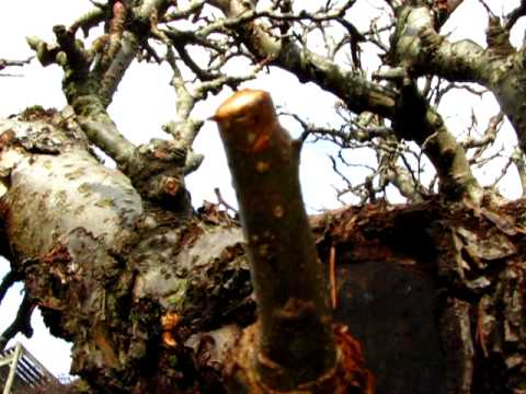 Pruning Apple Trees- What NOT to do in Winter-PLZ read descrip