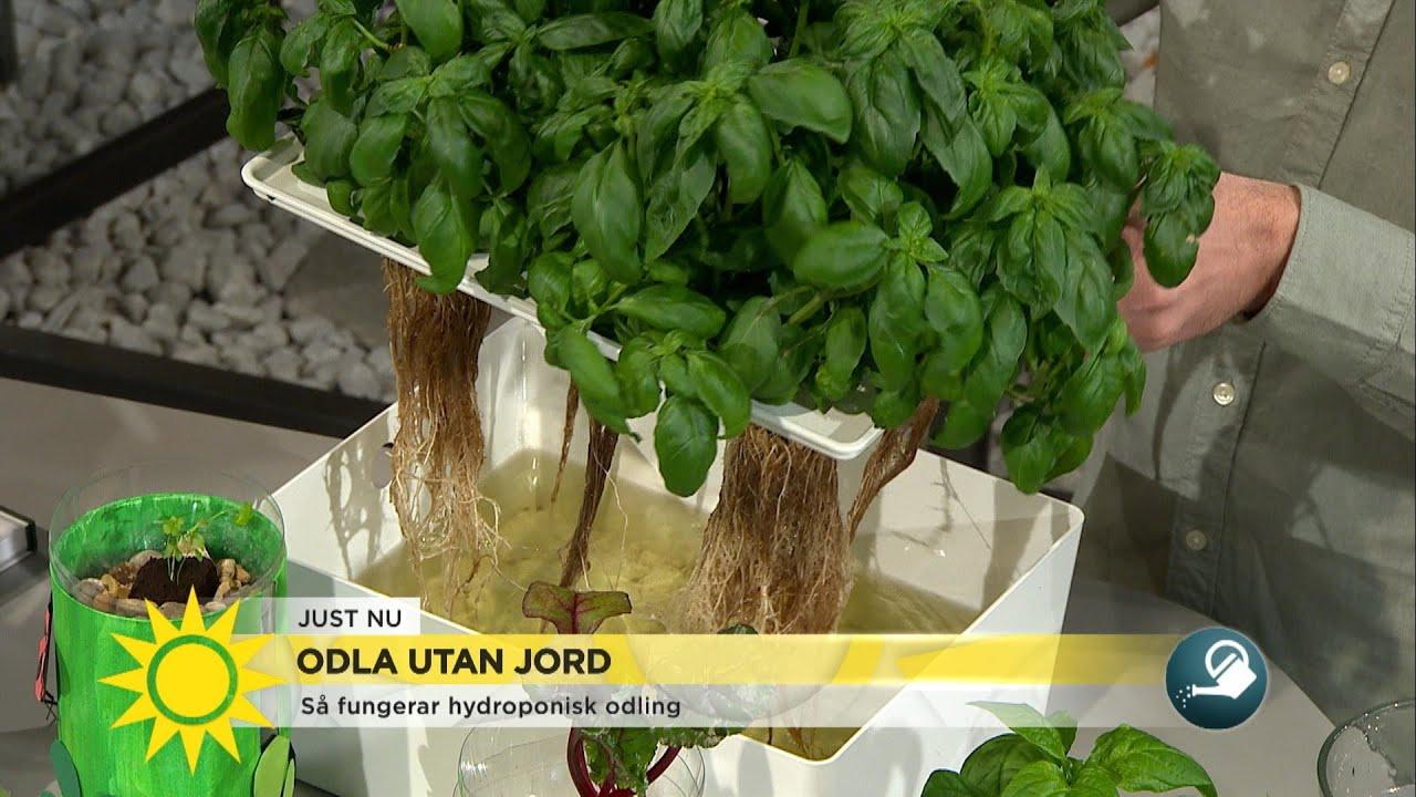 Nya trenden bland hemmaodlare – odla utan jord - Nyhetsmorgon (TV4)