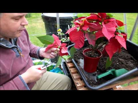 Cutting back and repotting my poinsettia (Euphorbia pulcherrima)