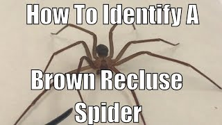 Download How to identify a brown recluse spider Video