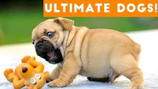 Ultimate FUNNY DOG Compilation of 2017 | Funny Pet Videos