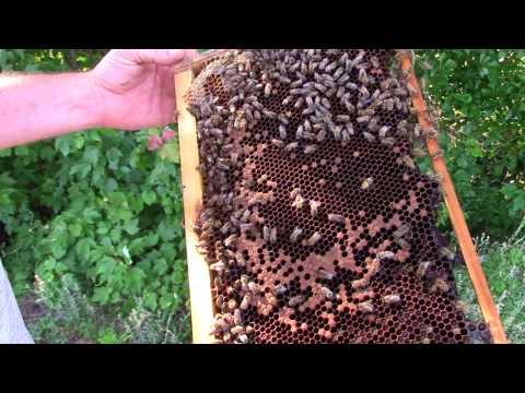 The Queen Has Left The Building!!! Queenless Hive