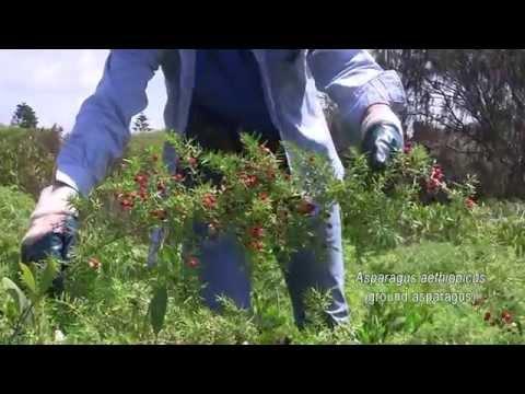 ASPARAGUS WEED CONTROL 1. Asparagus aethiopicus (ground asparagus)