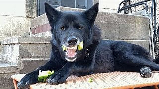 This Is What Happens When You Feed Vegetables To Dogs!!!
