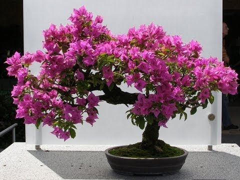 bougainvillea bonsai | bougainvillea bonsai repotting