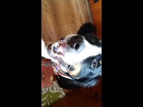 Bernese mountain dog fresh from groomer