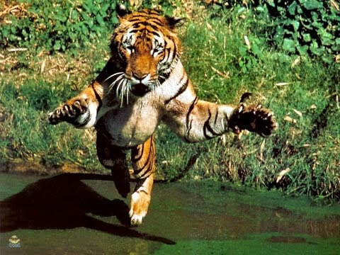 Tiger attacks a cameraman while he's filming a documentary