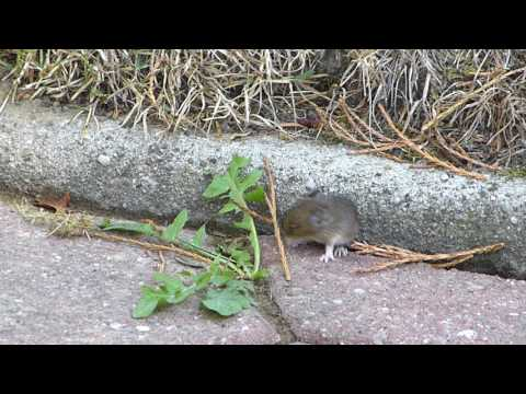 Young little mice - first steps outside their nest