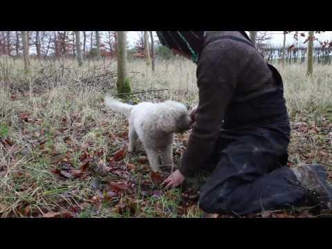 Truffle hunt & Song in Wiltshire copse, UK 2009