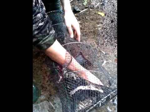 signal crayfish  trapping in the north east