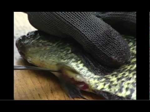 How-To Fillet Fish with Rapala® Knives