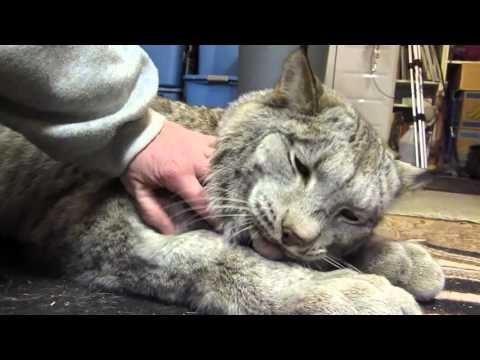 Max Canada Lynx - I'm a Big Baby