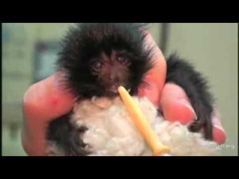 Rare baby monkey born in UK
