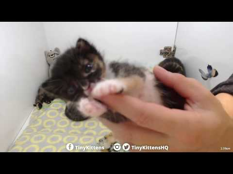 Aura waves goodnight after tube feeding #140 - TinyKittens.com