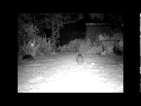 The secret life of hedgehogs at night! Feeding, running, fighting and more!