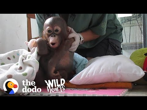 Xxx Mp4 Watch This Rescue Baby Orangutan Exploring The World For The First Time The Dodo Wild Hearts 3gp Sex