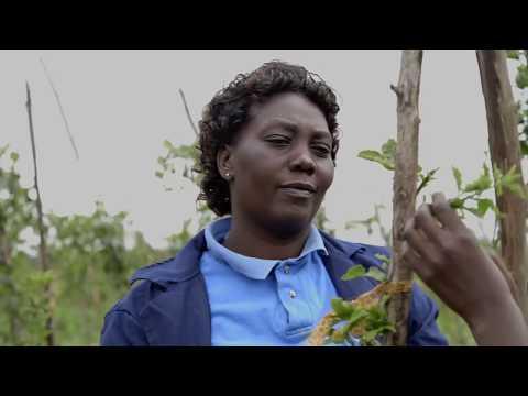 Shamba Shape Up Sn 08 - Ep 06 Potatoes, Dairy Cows, Solar Home System  (Swahili)