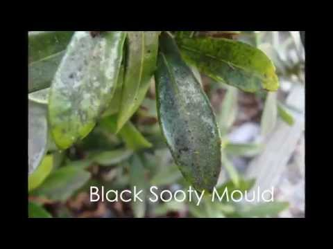 Top Tips #1 Black Sooty Mould