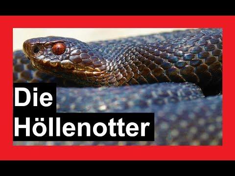 Schlangen in Deutschland | Die Höllenotter | Reptilien und Amphibien Folge 13