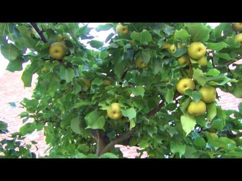 Asian Pear - ripening 8-7-2016 1 00061