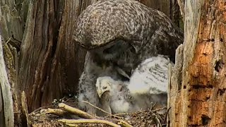 170517 Great Gray Owl - Youngest Can Swallow A Rodent