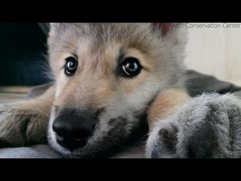 Wolf Pup Hiccups!