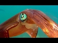 Colour Changing Squid Mating Ritual | Blue Planet | BBC Earth