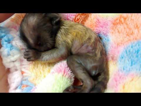 Newborn Baby Marmoset Monkey 1 Day Old, Mono Marmoset Recien Nacido, Bebe