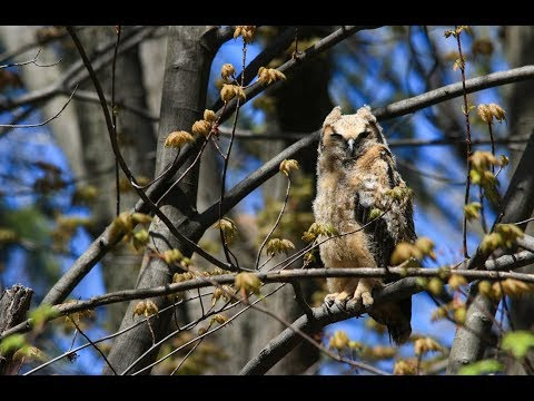 Great Horned Owlet Snoozing in the Sun