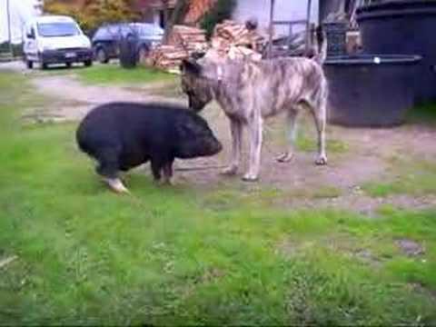 pot belly pig Valentino + dog Cicero