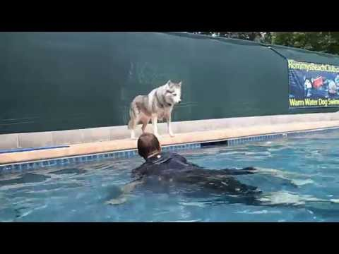 Siberian Husky Snow teases Daddy before getting in swimming pool to swim