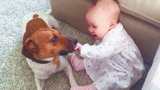 Cute Dogs and Babies are Best Friends 🤣 Jack Russell Dogs and Babies Video