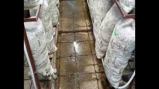 Вешенки: увлажнение грибного цеха (watering Oyster Of Mushrooms)