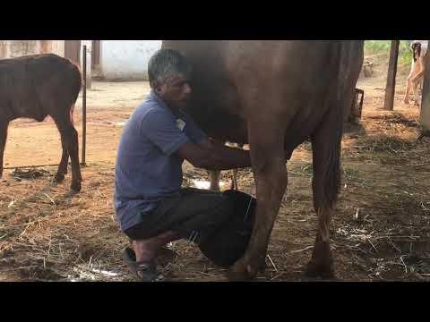 Milking buffalos in India - natural