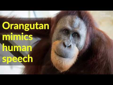 Xxx Mp4 Orangutan Quot Speaks Quot 3gp Sex