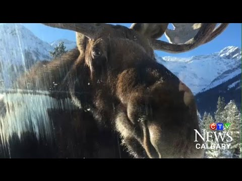 Caught on Cam: Moose licking salt off vehicles in Alberta