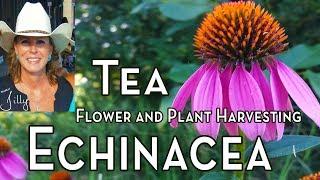 Echinacea Tea – Harvesting Echinacea for Tea