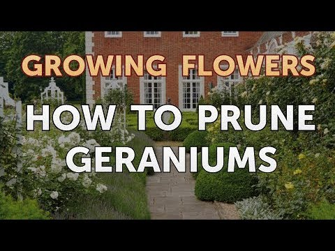 How to Prune Geraniums
